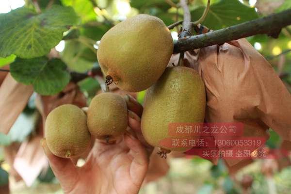 传猕猴桃使用膨大剂增产不能吃 这是真的吗?