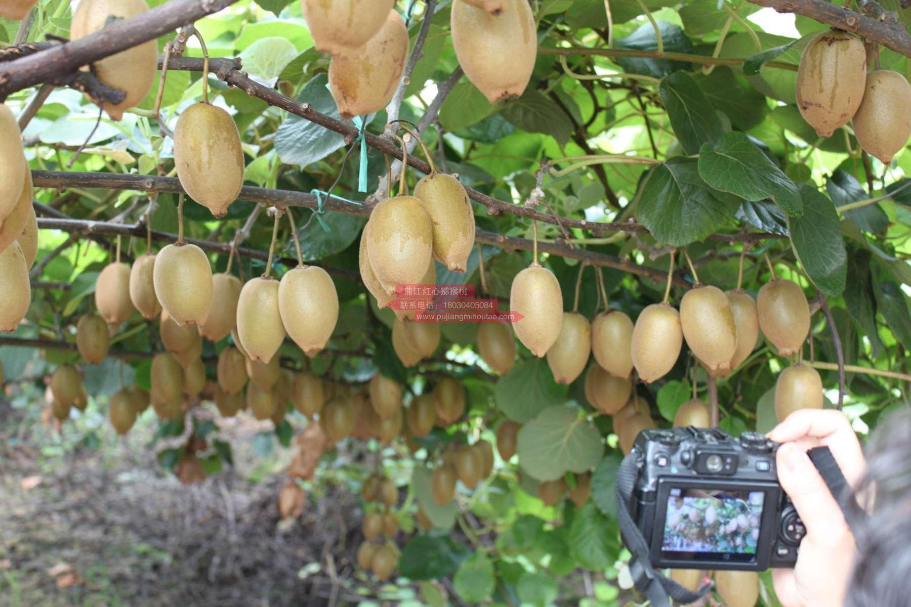 猕猴桃和奇异果是不是一回事?