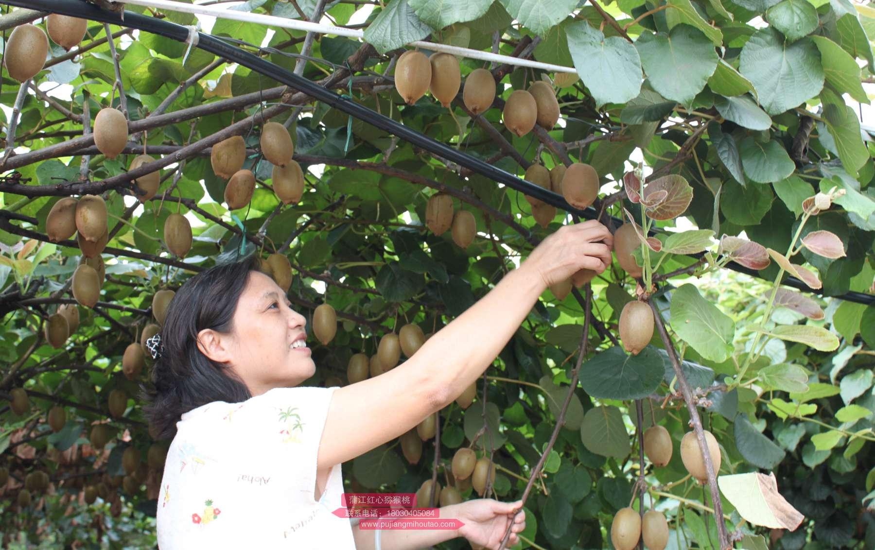 来自新西兰的国宝级水果——佳沛奇异果
