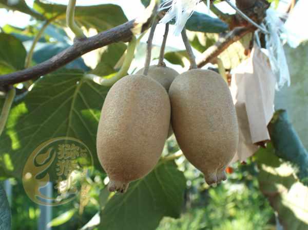 新西兰黄金奇异果营养最高