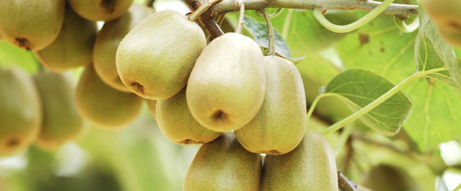 奇异果和野生猕猴桃的区别有哪些?