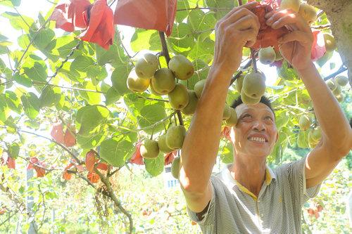 猕猴桃树下套种西瓜 抗旱又增收