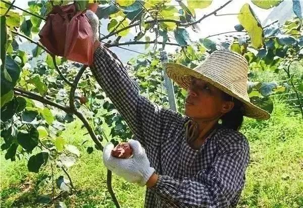 猕猴桃采摘前必做的几件事猕猴桃采摘前必做的几件事
