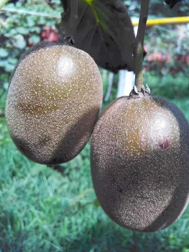 猕猴桃黄肉新品种黑金猕猴桃
