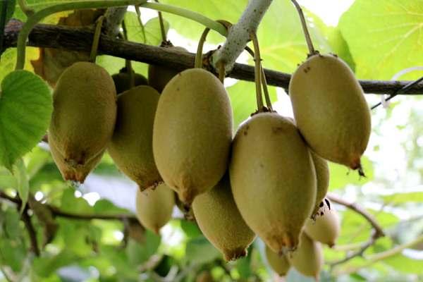 每天吃3个黄金奇异果 降低高血压风险