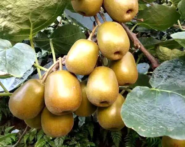 超级果——猕猴桃