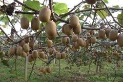 蒲江猕猴桃熟了丨法律援