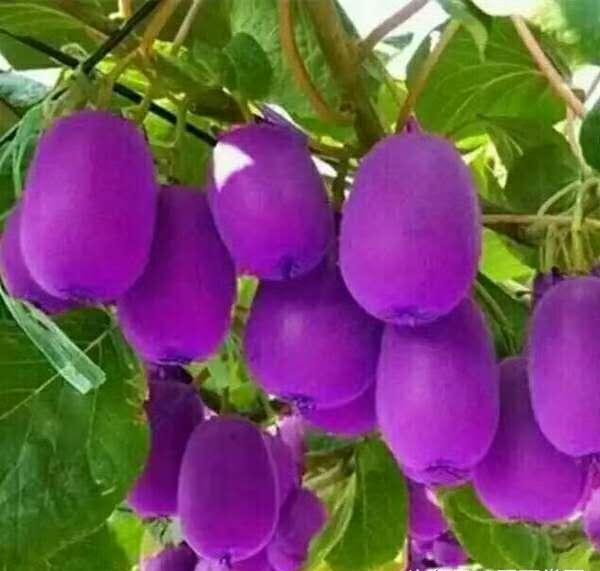 猕猴桃家园的新品种——紫美猕猴桃,你敢吃吗?