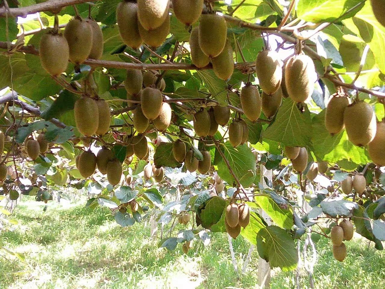 糖分测报 | 周至猕猴桃可溶性固形物含量监测通告