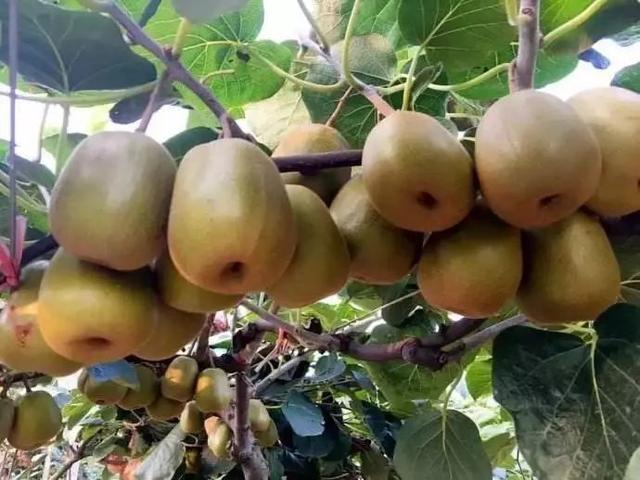 市场|今年猕猴桃产量增加20%,单价下跌,经销商看好后期走势
