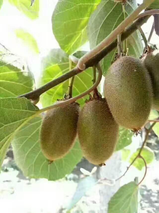 你在微商哪里买的猕猴桃为什么不好吃