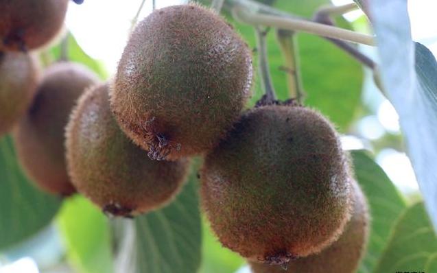 世界猕猴桃大会暨第六届中国·陕西(眉县)猕猴桃产业发展大会