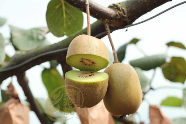 奇异果、猕猴桃有啥不同