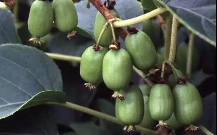这些猕猴桃认识几个?细数吃过几种?