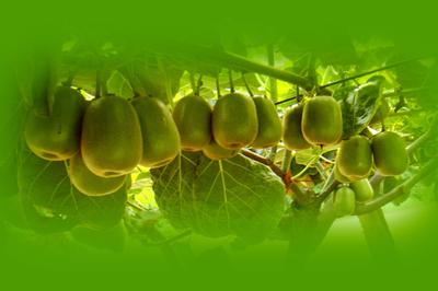 眉县举办世界猕猴桃大会新闻发布会21日将在京召开
