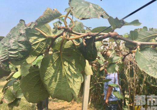 武功县猕猴桃被偷,田地里的财产安全谁负责?