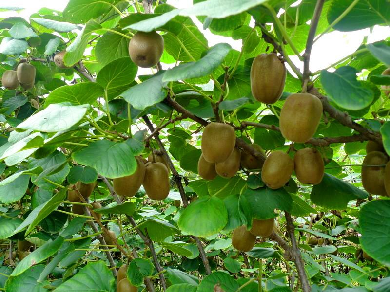 山东博山:猕猴桃园里说丰年