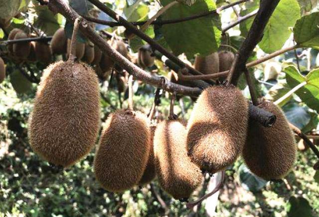 进入10月,猕猴桃晚熟品种要注意这几件事