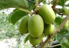 软枣猕猴桃营养价值的前