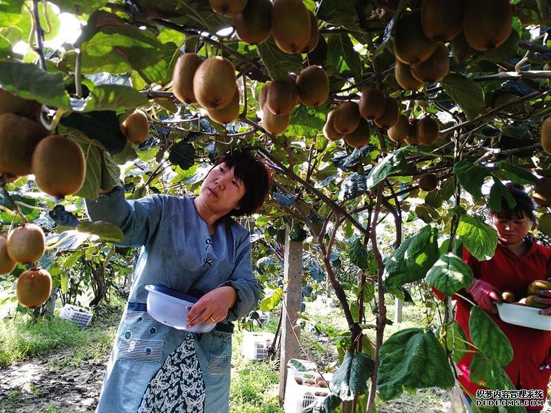 周至猕猴桃园采摘忙 种植户年收入超过10万元