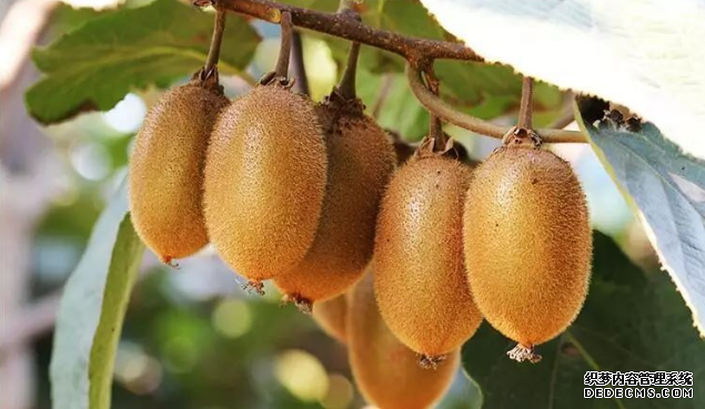 原来猕猴桃连着皮吃更有营养?想像一下那毛茸茸的口感…