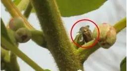 加强猕猴桃果园金龟子防治-防病防虫-