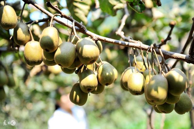 猕猴桃采果后如何管理才能保证明年的产量和品质