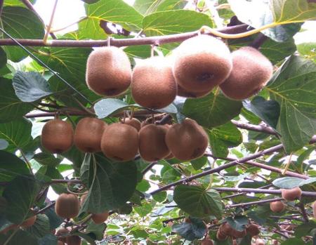 亚特绿心猕猴桃图片/价格