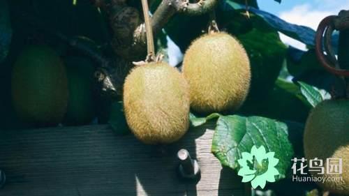 猕猴桃的种植方法