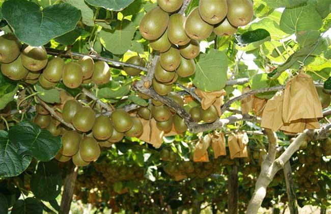 猕猴桃什么时候成熟 猕猴桃什么时候采摘