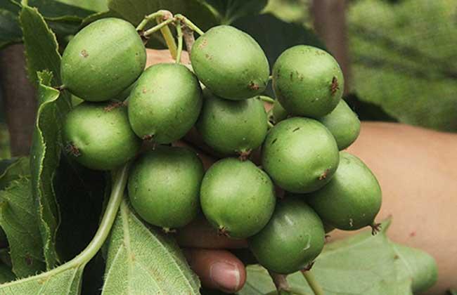 软枣猕猴桃多少钱一斤 软枣猕猴桃有什么好处