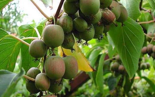 软枣猕猴桃哪个品种好 价格多少钱一斤2017