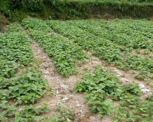 红阳猕猴桃苗,红阳猕猴桃树苗价格,红阳猕猴桃苗木多钱一棵