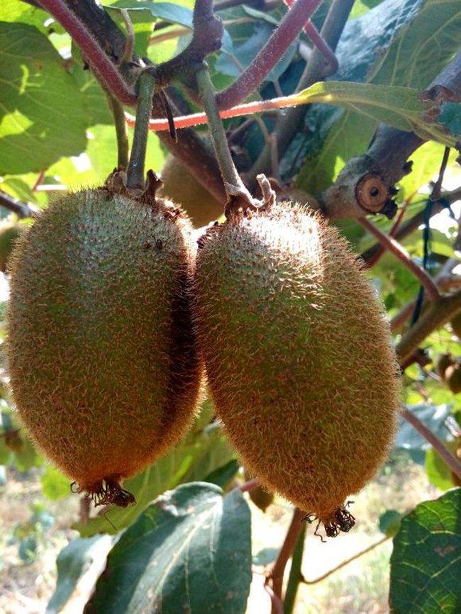 翠香猕猴桃苗,翠香猕猴桃种苗,翠香猕猴桃树苗价格,翠香猕猴桃苗基地