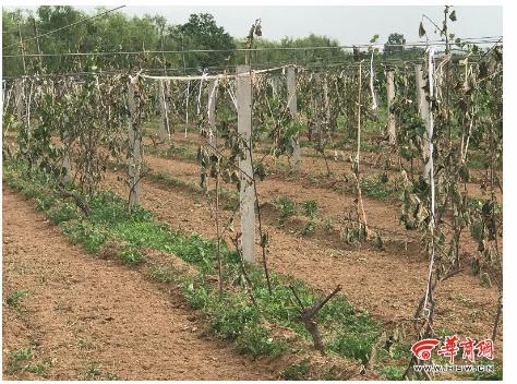 杨凌367棵已挂果猕猴桃树一夜间被人砍断 谁干的?