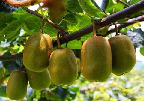 丰都南天湖镇大力发展猕猴桃种植 实现村民增收