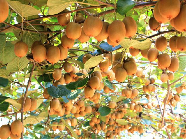 新西兰猕猴桃种植技术有多牛?与国内差异在哪