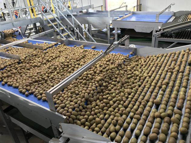 佳沛奇异果品质来自精心管理,猕猴桃需要学习那些?