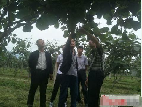 西安市果业中心检查周至县猕猴桃资源
