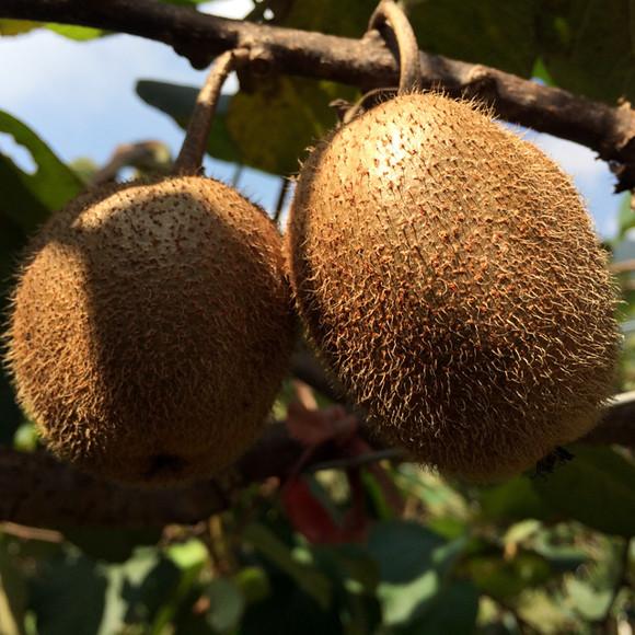徐香猕猴桃和秦美猕猴桃的区别,那个好吃?