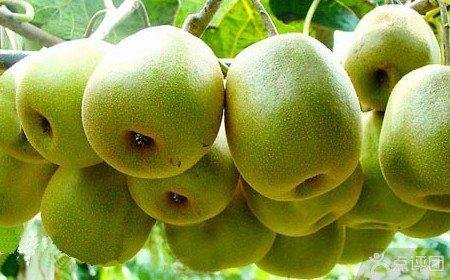 陕西红阳猕猴桃和四川红心猕猴桃那个更好吃?
