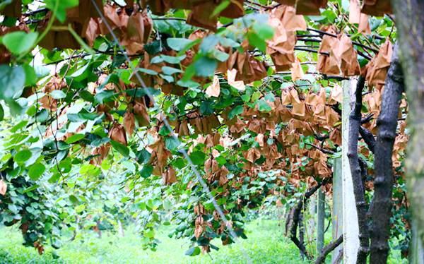 眉县翠香猕猴桃的特性是什么,好吃吗?