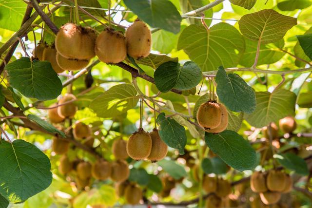 徐香猕猴桃 红阳猕猴桃 海沃德猕猴桃有什么区别,哪个更好吃?