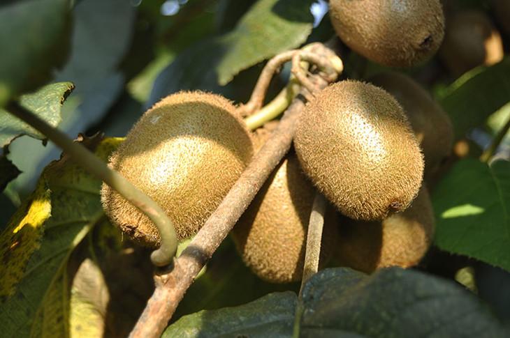 徐香猕猴桃产地哪里 徐香猕猴桃好吃吗?
