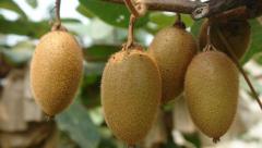 猕猴桃种植技术(一)-花