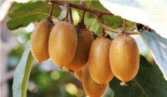翠香猕猴桃和亚特猕猴桃