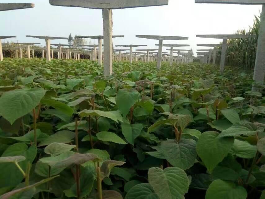 楚红猕猴桃种苗