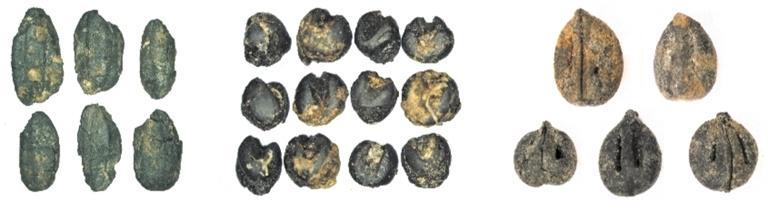 揭秘成都平原农作物种植演变历程:古蜀人把猕猴桃当零食