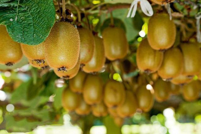 贵州省大方县五举措推进猕猴桃产业发展
