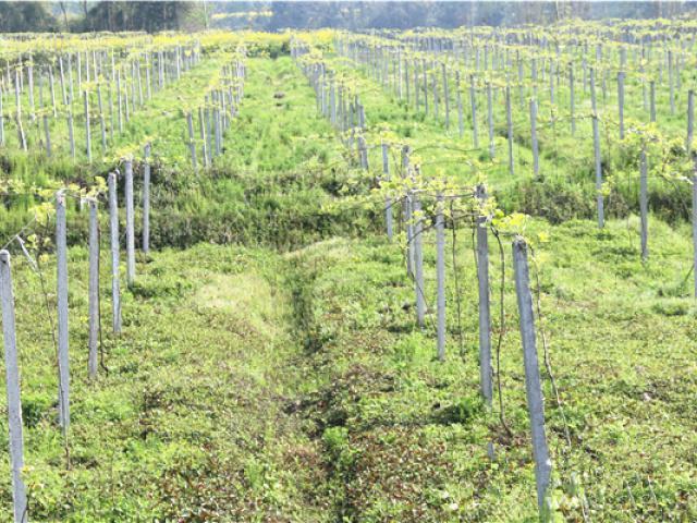 江西拟建10万亩猕猴桃国际标准特色产区-行业动态